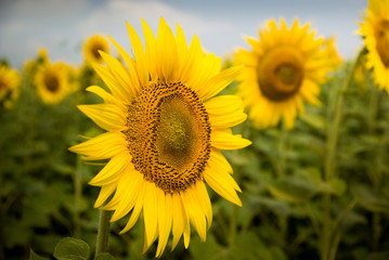One sunflower faced to viewer