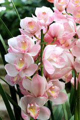 Cymbidium pink