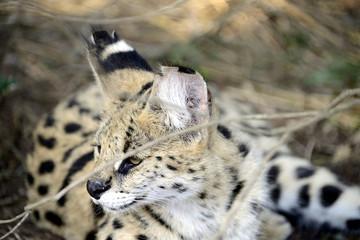 Serval, Hluhluwe, South Africa