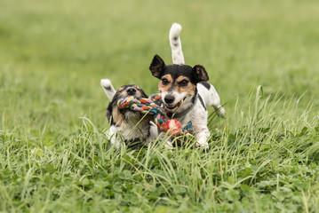 Spielende Hunde auf der Wiese im Gras