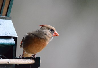 Female cardinal poses for portriat
