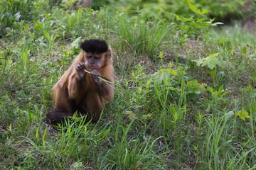 Brown Capuchin Monkey, Cabus apella