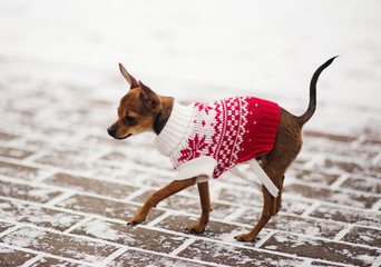 Russian toy terrier in a city park in the winter.