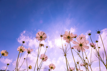 purple, pink, red, cosmos flowers in the garden with blue sky and sunlight background in vintage style soft focus.