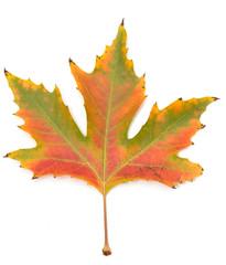 autumn maple leaf on a white background