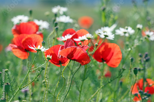 Red Poppies Flower Spring Season Stock Photo And Royalty Free