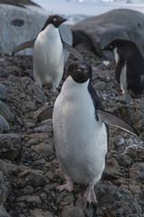 Adélie Penguins.