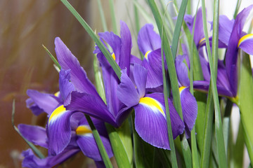 small purple irises