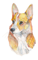 dog Corgi/ Dog hand painted watercolor illustration isolated on white background