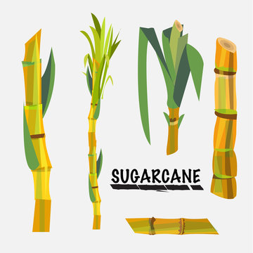 sugarcane - vector