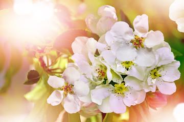 Flowering branch of pear
