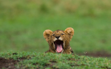 Lion cub is yawning. National Park. Kenya. Tanzania. Masai Mara. Serengeti. An excellent illustration.