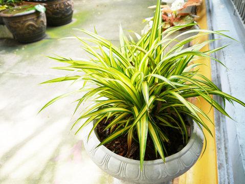 Variegatum green leaf .