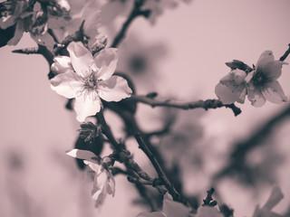 Zweig eines Mandelbaums mit einzelner Blüte im Fokus
