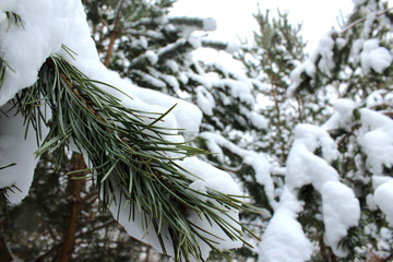 ветка сосни  зимой,  pine branch in winter