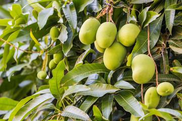 Fresh and sweet mangoes on tree