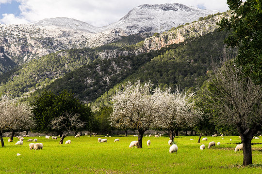 Mallorca im Schnee - Blick über eine Wiese auf den Massanella