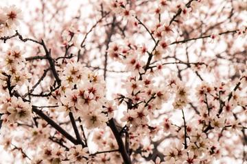 Rosane Blüten am Mandelbaum in Nahaufnahme