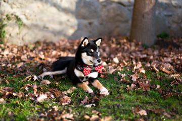 Shiba Inu Hund Rüde