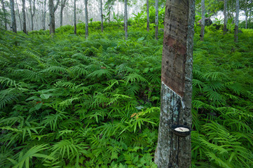 Latex rubber tree plantation in tropical forest in Asia