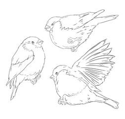 Bullfinch bird winter illustration