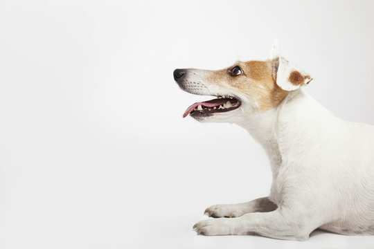 The dog of Russel Terrier lying and waiting