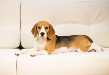 Beagle on the sofa