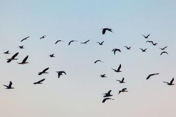 flying flock of wild birds