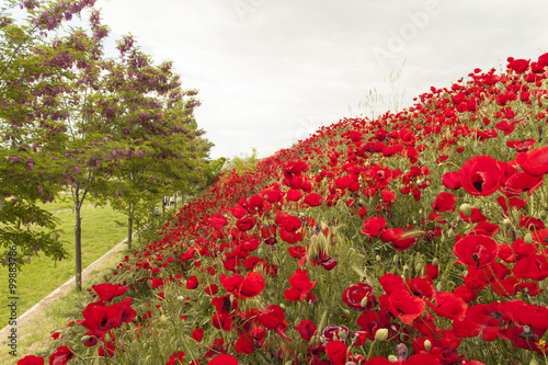 Bahar Mevsiminde Doğada Açan Kırmızı Yapraklı Gelincik çiçekleri