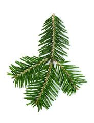 Fresh fir branch isolated.