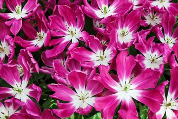 Fototapete - Pink Tulips. Keukenhof Garden, Lisse, Netherlands