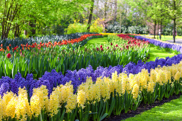 Fototapete - Blue and Yellow Hyacinth Flowers. Keukenhof Garden, Netherlands