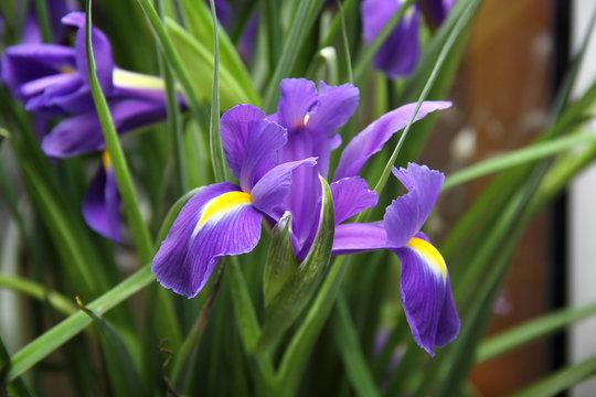 small purple irises