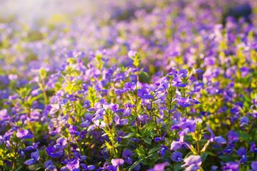 Brazilian Snapdragon or Blue Hawaii flower in the meadow