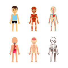 Body anatomy Vector illustration. Skeletal and muscular, circulatory and nervous