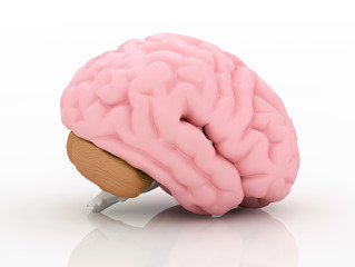 Human brain isolated on white.