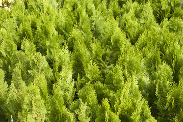 Chinese arborvitae, Chinese traditional herb