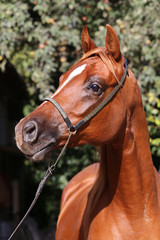 Beautiful chestnut colored arabian stallion head