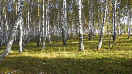 Wall Mural - walking in the autumn birch forest