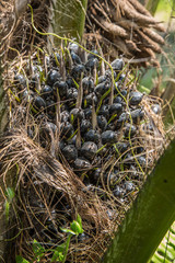 black palm fruit on the tree for bio diesel production