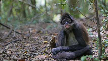 A young spider monkey grins for the camera in South Africa.
