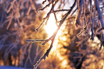 branch covered with frosty rime. winter macro picture. frosty winter, sunny day. Beauty!     sunset through the frost