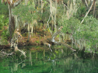 Spanish Moss Draped Trees on the Bank of Southern Stream