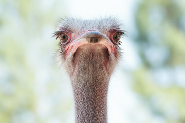 Face of Ostrich