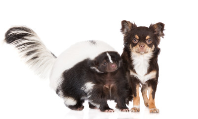 chihuahua dog and skunk posing together