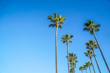 Palm Trees at Long Beach