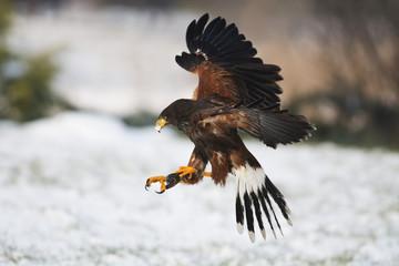 Harris hawk in flight above snowy grass