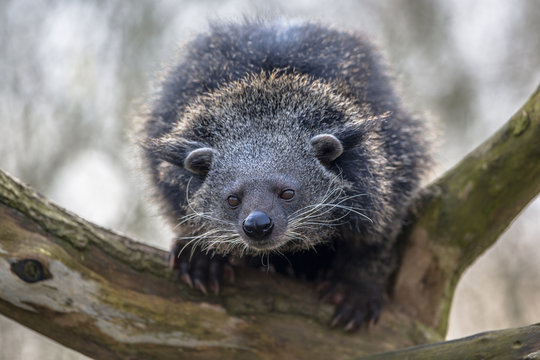Close up of a binturong or bearcat