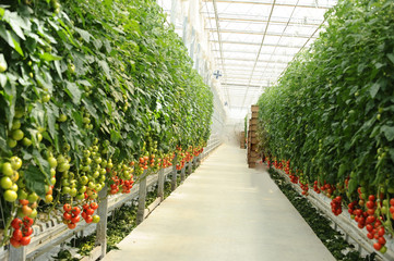 Hydroponic tomato gardening
