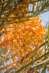 Date fruits on the tree. Close-up.